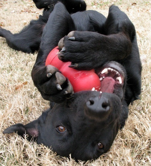 black-lab-chew-toy